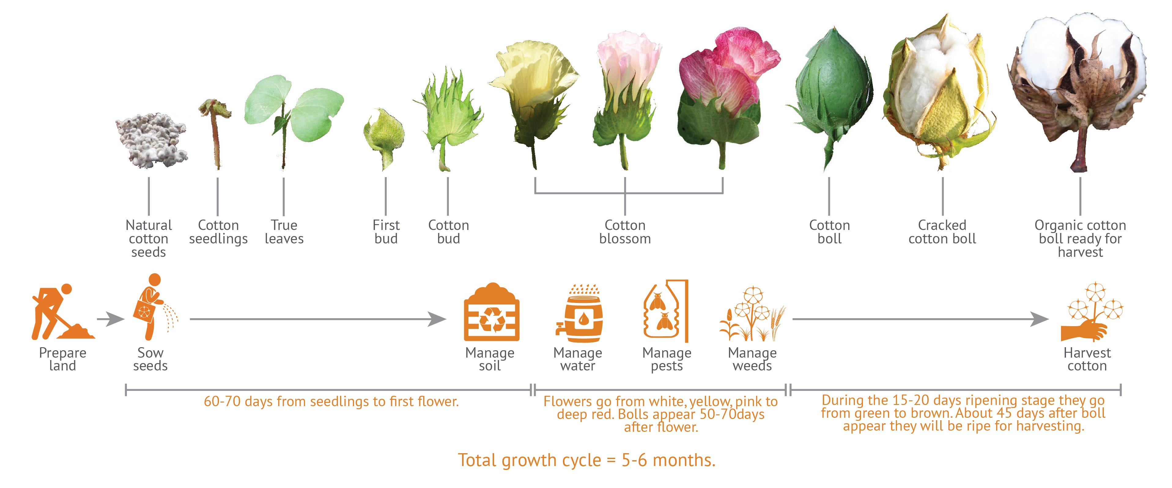 What Is The Growing Cycle Like For Organic Cotton